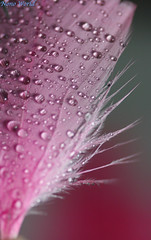 Nono world (Nouf Alkhamees) Tags: world pink macro water canon drops feather drop alk nono alkuwait    nouf        alkhamees noufalkhamees