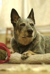 Injured old man (gustavosal) Tags: dog suki injured acd blueheeler lansingmi tornccl