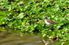 Wood Sandpiper (nurur) Tags: wood bird river dam sandpiper bangladesh woodsandpiper muhuri nurur muhuridam muhuririver