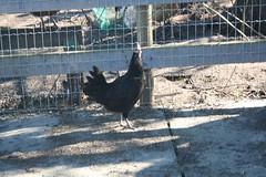 Max Chicken 1