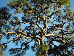 Pine Tree Canopy (scilit) Tags: sky plant tree texture nature leaves lines pinetree branches curves best trunk needles canopy twisted soe bestofthebest pictureperfect blueribbonwinner otw cherryontop withthesky colorphotoaward diamondclassphotographer flickrdiamond mycameraneverlies amazingamateur goldsealofquality goldstaraward trueessence allkindsofbeauty rubyphotographer thecelebrationoflife