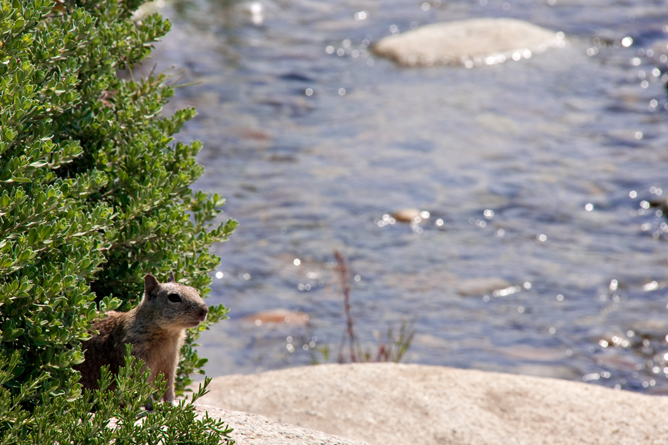Ground Squirrel by River