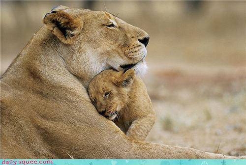 lion cub cuddling up under mama lion's chin