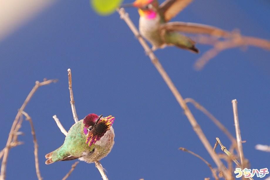 Anna's Hummingbird 010111