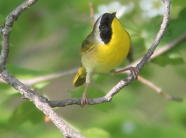 Common Yellowthroat 3-20110513