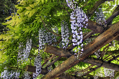 Wisteria Blooming on Pergola at Portland Japanese Garden 3 - HDR (David Gn Ph
