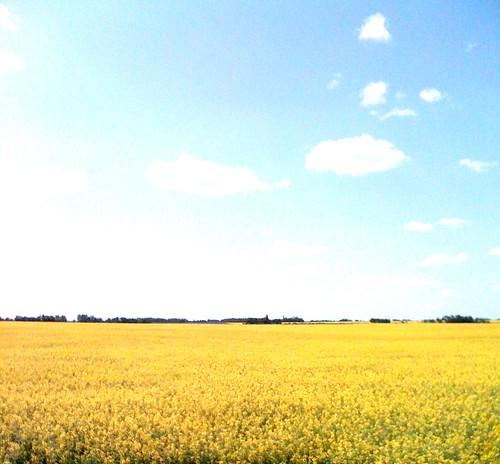 Canola field