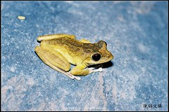Frog-01 () Tags: macro flickr micro wesley biology flick chen  lifescience  howen     chenhowen