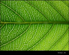 green leaf (sreeji..) Tags: green net nature photography photo leaf photos sony nerves trivandrum watcher technopark h7 sreejith inapp wwwsreejicom thaliparamba  sreejinet  kenoth