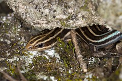 Five-lined Skink (Eumeces fasciatus) Under Rock