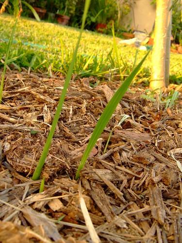 garden april 21, 2008 017