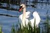 bold swan (Dnomar) Tags: toronto swan highpark