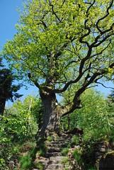 Chêne de 600 ans