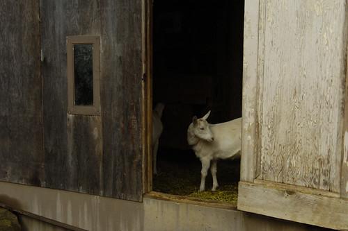Goat in doorway
