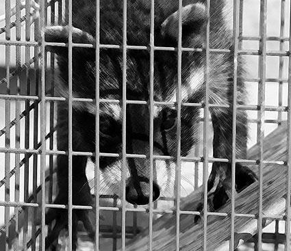 Raccoon Baby Number 3