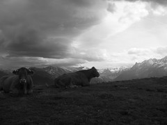Luchon - superbagneres - vaches B&W