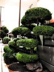 Topiary (kozfear) Tags: leaves berkeley greenery bushes sidewalks telephonewires shrubbery topiaries
