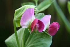 pea flowers 5
