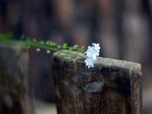 Tiny forget me nots on a fence