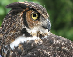 Great Horned Owl dos