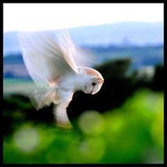 Movement (midlander1231) Tags: nature owl birdwatching barnowl britishbirds