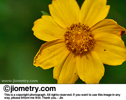 Yellowish flower head