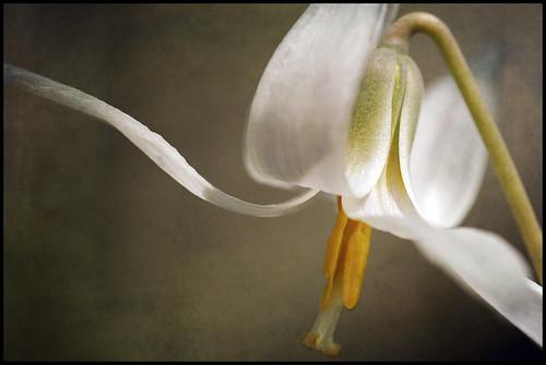 White Trout Lily 4