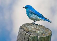 Bluebird 04 (Paul Swortz) Tags: mountains bird birds roadtrip bluebird wyoming tetons 2008 grandtetonnationalpark mountainbluebird cunninghamcabin nikond80 swortz