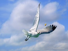 Mia P6143542o (Miquel Salas   EA6QN) Tags: espaa bird blanco azul spain seagull cielo nubes pajaro mallorca gaviota vuelo gamewinner cruzadas kartpostal volendo a3b excapture cruzadasgold 6retos6 fotoconcursos flickrsportal