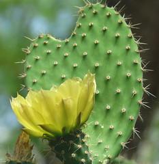 Pricklypear in bloom (annkelliott) Tags: cactus canada calgary nature lumix conservatory explore alberta opuntia pricklypear calgaryzoo naturesfinest interestingness172 i500 annkelliott floralexcellence fz18 panasonicdmcfz18 aridroom p1130753fz18 explore2008july1