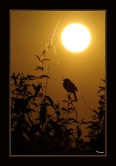 Happy (hot) Canada Day (the_coprolite) Tags: sun canada hot warm bc britishcolumbia sparrow burnaby canadaday d300
