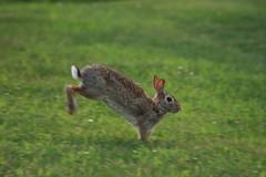 IMG_2390 (Blackavar Lion) Tags: rabbit bunny conejo running hazel coelho  lapin watershipdown kaninchen fiver    canonrebelxti blackavar telephotos  2be2176f59cfac7c3f99b44a73b29c9b