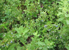 100_0012 Blueberry patch