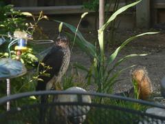 2008 - July 22 - 05 - Hawk in the yard - Is our yard the animal fast food restaurant (Terre's Photos) Tags: birds squirrels hawk prey beautifulbird