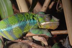Panther Chameleon (Chamaelo pardalis)