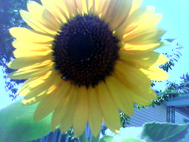 Sunflower (Click to enlarge)