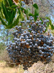 blue elderberries are ripe
