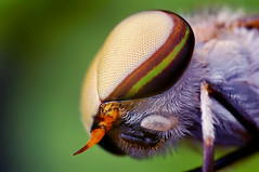 Head of a Male Striped Horse Fly (Tabanus lineola)