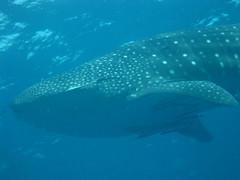 Whale Shark MY-010
