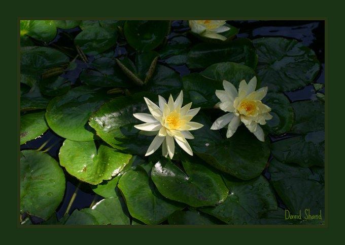 Water lilies at the Yogananda gardens