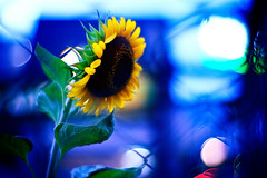 sunflower of the evening#1 (moaan) Tags: life light flower color digital fence 50mm evening dof bokeh live vivid nightlight sunflower alive 2008 hue f095 eventide explored canonf095 throughthefence rd1s inlife epsonrd1s canon50mmf095 goldenbokeh bokehwhores gettyimagesjapanq1 gettyimagesjapanq2