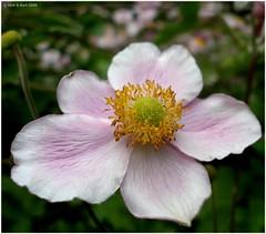 japanese anemone (Rick & Bart) Tags: flower nature flora anemone blossoming bloem botg irresistiblebeauty rickbart trshot rickvink