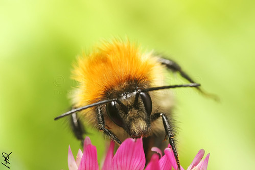 Bourdon (bumblebee)