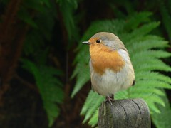 Garden Visitor (Lazy B) Tags: bird robin ilovenature lakedistrict september fz5 2008 redbreast standingononeleg blueribbonwinner abigfave