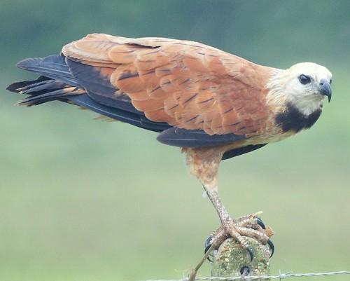 Gavilán Colorado [Black-collared Hawk] (Busarellus nigricollis nigricollis) by barloventomagico.