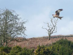 Galloway Red Kite Trail (Dennis@Stromness) Tags: uk red wild kite bird nature birds scotland britain wildlife birdofprey dumfriesgalloway galloway redkite rspb milvusmilvus dumfriesshire gallowaykitetrail dumfires bellymack kitetrail