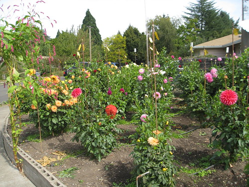Glorious dahlias in Corvallis -- the West Bed