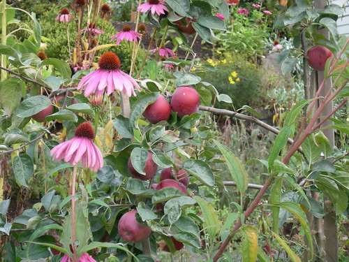 Coneflowers and apples in fall