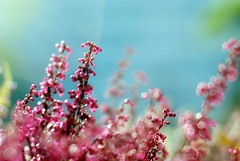 S U M M E R . F E E L I N G (Miss K.B.) Tags: pink flowers blue au
