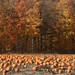 Pumpkin Field / Niagara Escarpment / Guelph Line Near Britannia Road / Halton Hills / Ontario